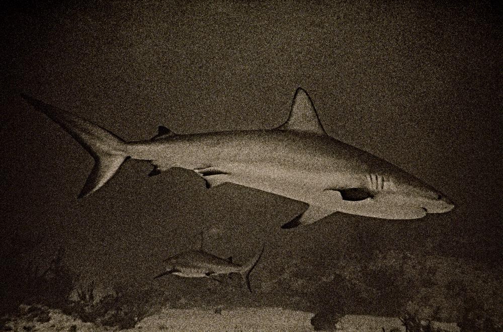 39_Shark_BARNEY 18